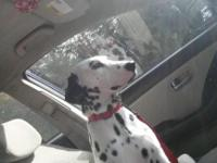 We are needing to REHOME our beloved Dalmatian. This is