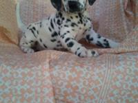 Meet our adorable Dalmatian she is as healthy and