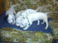 i had 8 full blooded dalmatian puppies for sale i have