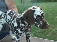 Stunning male Dalmatian. Big handsome boy. Liver and