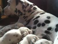 FULL BLOODED DALMATIAN PUPPIES FOR SALE. PUPPIES ARE