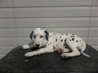 I have 1 male Dalmatian puppy that is 12 weeks old. I