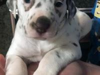 This gorgeous show quality female puppy is available.