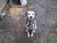 I have a 3 year old dalmation in need of a good home.