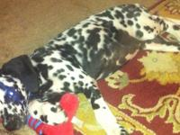 Last male Dalmatian puppy. Very sweet and cuddly. Male