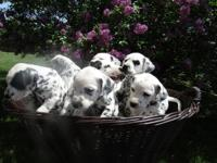 We have Dalmatian Pups 2 Females 450.00 each and 7