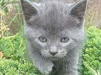 Dan's story Dan is a grey male Domestic Shorthair. He