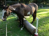13 year-old, Pinto Mare, 15 hh. Adoption Fee: $200 Dana
