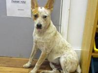 Dandy's story 18-D08-055 Dandy Breed: Heeler Mix Size: