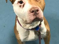 This 4 year old Pit mix is Danny.  Danny pulls on lead