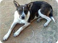 Danny's story beautiful cattle dog male Danny is a