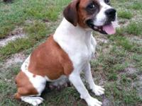 Daphne is a six year old purebred Boxer. She has had a