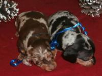 We have 2 dapple male pups that will be ready first of