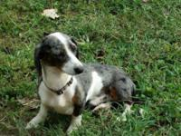 Lovable dapple piebald male miniature dachshund young