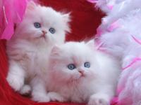 Gorgeous Dark blue eye white Persian Boy 1 year old,