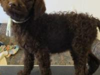 AKC Brown Female Standard Poodle Puppy available. Up to