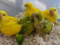 Super sweet and rare Dark eye Yellow Quakers for sale.