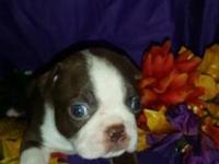 CKC dark red and white male Boston Terrier he will be