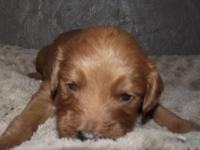 Dark Red and White Mini F1 Goldendoodle are here. Mom