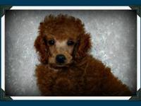 """Nate"" is an oversized toy/small miniature poodle,"