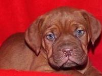 Very nice dark red snub nosed female pup full AKC
