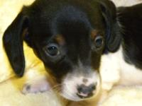 This little cutie is a black & & tan piebald miniature