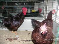 Up for sale I have 4 pairs of rhode island red bantams