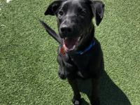 Darla 11 month old female Black Lab Darla is a