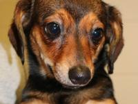 Dixie is a sweet little female dachshund mix, 15