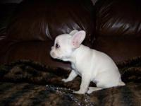 Darla is cream CKC French Bulldog young puppy. She