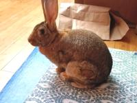 Darla wants to meet you! This 11 lb Flemish Giant is
