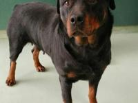 DARLA4 year female. Darla is a short, stocky rottie