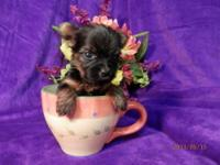 DARLIN MICRO TEACUP YORKIE FEMALE PUPPY 2000.00 DARLIN
