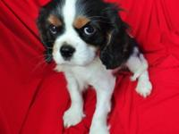 Gorgeous, Tri-colour, AKC Cavalier King Charles Spaniel