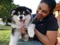 Beautiful Championship lines ALaskan Malamute puppies,