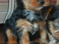 Darling AKC registered yorkie very sweet temperament