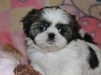 Darling AKC registered Shih Tzu puppies. They will go