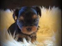 Darling Babydoll yorkie puppies. Very well socialized