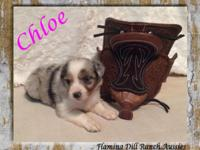 ASDR Toy Blue Merle Female Australian Shepherd Puppy ""
