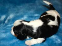 2 Sweet Cavalier King Charles Spaniel Puppies. Puppies