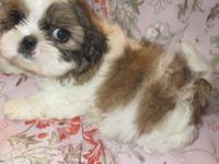 3 Spunky Male puppies ($700) 1 Tiny Female Puppy