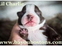 Lil Charlie is a gorgeous little chocolate CKC Boston