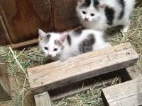 Introducing three of the cutest little bobtail boys you