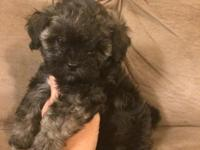 This darling little Shih-Poo (Shih-Tzu/Toy Poodle mix)