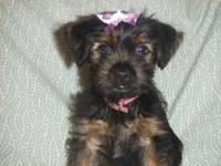 We have 3 of the most beautiful Shorkie puppies you
