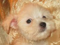 Purebred, registered Maltese Male Puppies