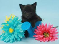 We have been raising Schipperke's for many years.