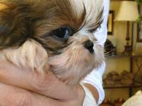 These darling shih tzu young puppies are 7 weeks old.