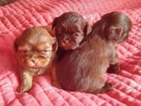Gorgeous Shih Tzu Puppies. Beautiful Rare colors...