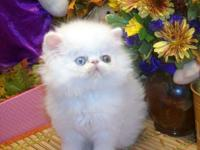 Sweet, playful, gentle, little Purebred Persian Kittens